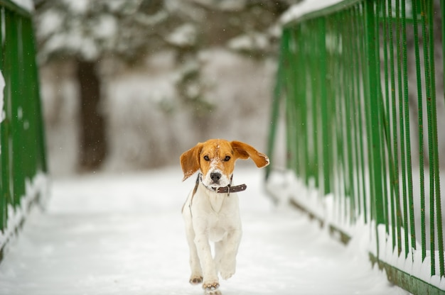 Cane di razza beagle in inverno gioca nella neve all'aperto.