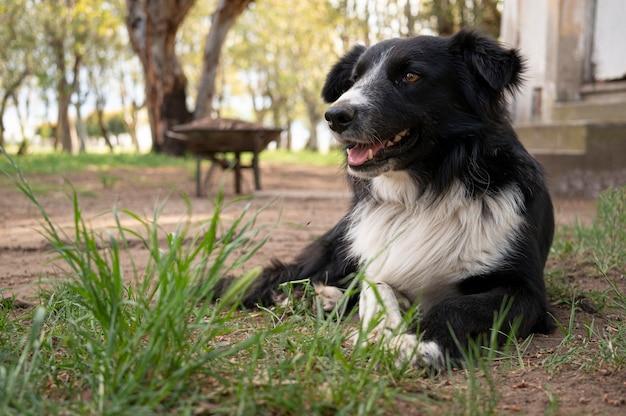 Border collie di razza di cane sdraiato sull'erba