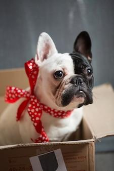 Cane di razza bulldog francese guarda fuori dagli schemi