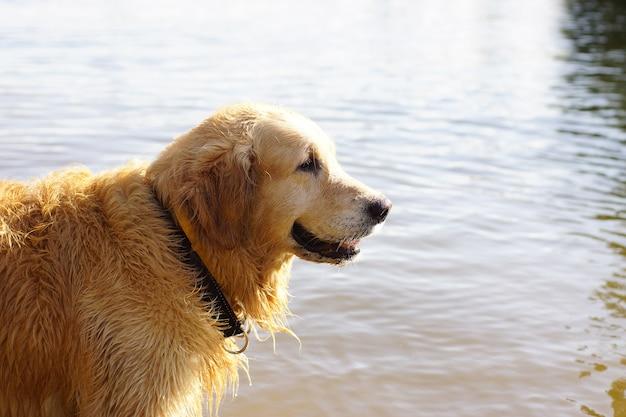 Documentalista dorato della razza del cane che sta in acqua e che sorride nel profilo.