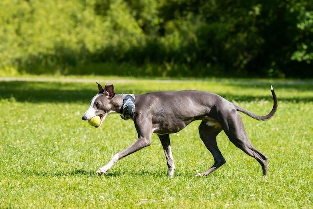 Segugio della razza del cane levriero sull'erba verde