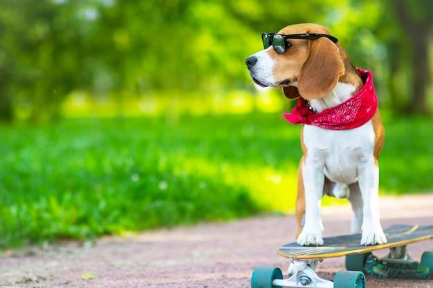 Il cane di razza è vero, cavalca nel parco ma è un longboard. pet cammina, impara a cavalcare uno skateboard nel parco.