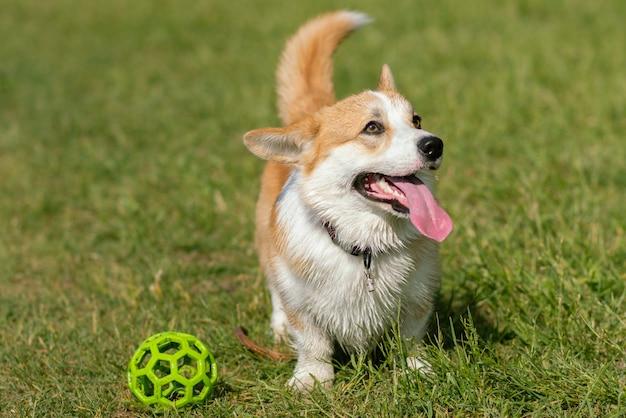 Il cane alleva il corgi che cammina sul prato nel pomeriggio con una palla