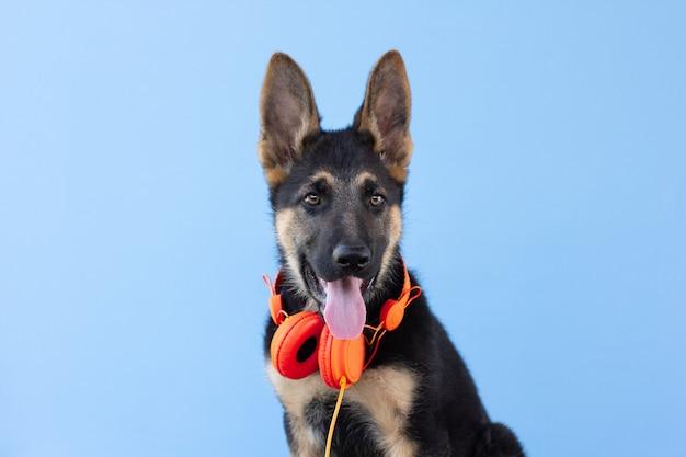 Cucciolo di pastore tedesco del cane in cuffie, fondo isolato azzurro. il concetto di animali domestici ascolta la musica