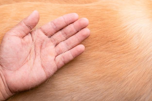 Il cane sta perdendo il concetto di pelliccia. mano di vista superiore che tiene pelliccia o pelo di cane su un corpo di cane