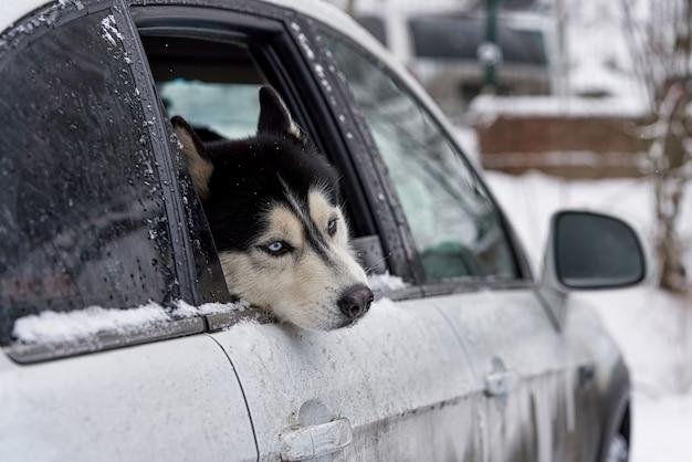 Il cane husky sembra tristemente sporgere la testa dal finestrino di una macchina