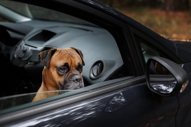 Il cane sta aspettando in macchina con il finestrino del proprietario aperto