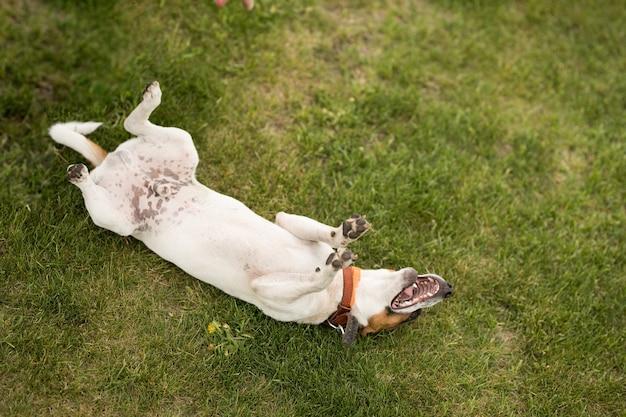 Il cane jack russell terrier è sdraiato sull'erba verde sulla schiena e sta scherzando