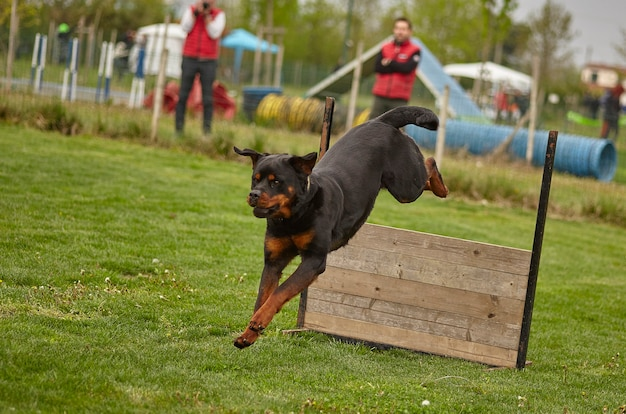 Il cane salta durante una gara di cani.