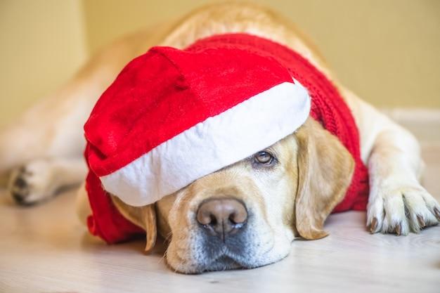 Cane labrador in berretto di capodanno. vigilia di capodanno. natale