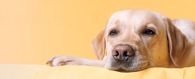 Il cane giace comodamente su un letto giallo. ritratto del primo piano.banner