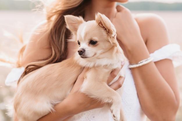Chihuahua a pelo lungo cane nelle mani di una ragazza nel campo in estate nella natura