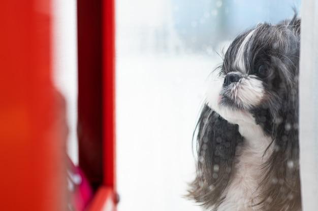 Un cane che guarda la pioggia dalla finestra