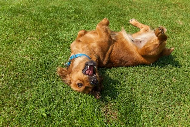 Cane sdraiato sulla schiena su erba verde, cani spaniel misti spaniel