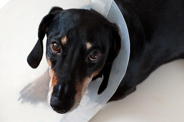 Cane sdraiato malato con collare elisabettiano di plastica veterinaria sul collo. un bassotto veterinario