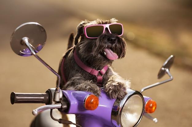 Schnauzer nano cane su un ciclomotore lilla, in occhiali da sole, con una linguetta sporgente, come se guidasse, un concetto di viaggio