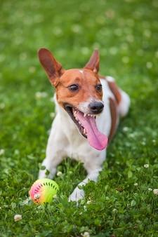 Cane che gioca con una palla sull'erba jack russell terrier