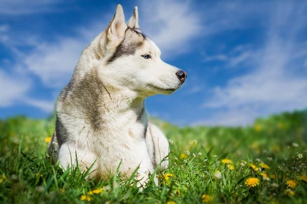 Cane. ritratto di siberian husky. cane sul prato di denti di leone. paesaggio. un cane su uno sfondo di cielo