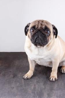 Primo piano del carlino del cane con gli occhi marroni tristi. ritratto su sfondo bianco