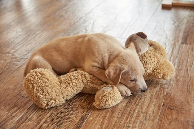 Un cane o un cucciolo di specie dorate si stendono sulla bambola dell'orso sul pavimento di legno.
