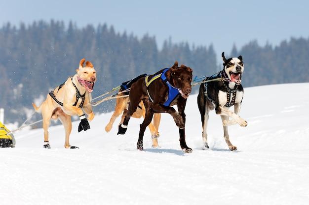 Corsa di cani in montagna alpina in inverno