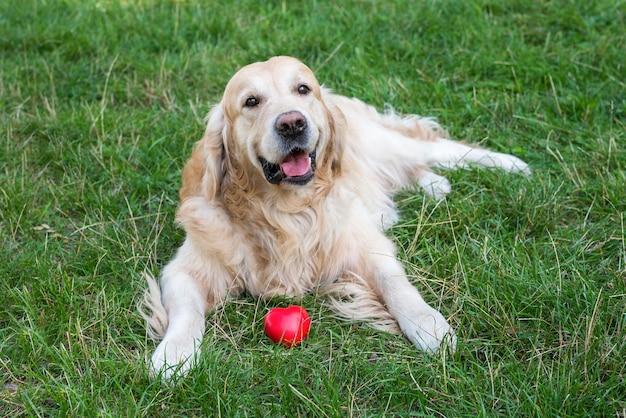 Documentalista di cane con cuore rosso sull'erba nel parco.