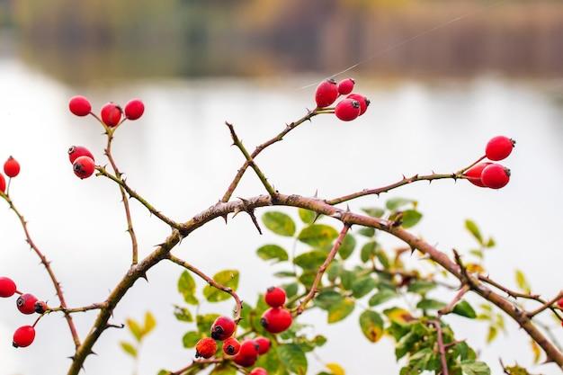 Frutti di rosa canina (rosa canina) in natura. cinorrodi rossi su cespugli con sfondo sfocato