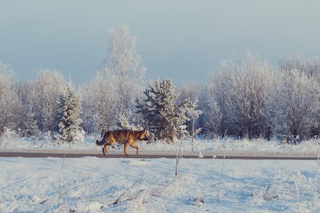 Cane che attraversa la strada invernale al chiuso, freddo, bella giornata