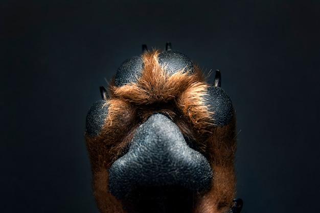 Fine della zampa del cane in su su una priorità bassa nera. consistenza della pelle.
