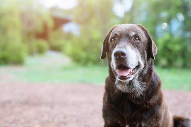 Il cane timido colpevole è un cane da caccia del rifugio in attesa che osserva in su con gli occhi solitari uno sguardo intenso all'aperto nella natura luce del sole del mattino.
