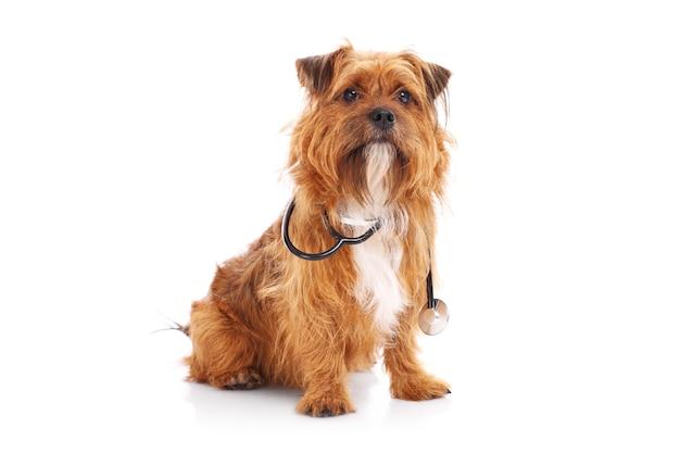 Un cane seduto con lo stetoscopio su sfondo bianco