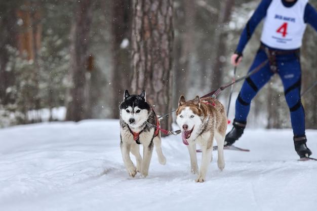 Skijoring per cani. mushing del cane da slitta del husky. campionato di sport invernali.