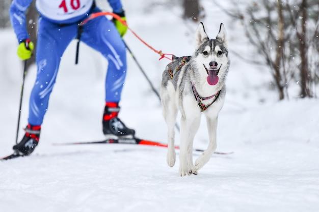Skijoring per cani. campionato di sport invernali. il cane da slitta husky tira musher sugli sci.