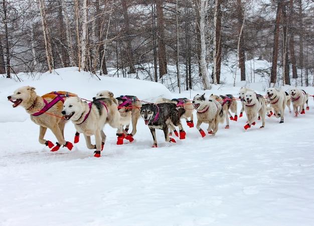 La slitta trainata da cani in esecuzione su un paesaggio invernale