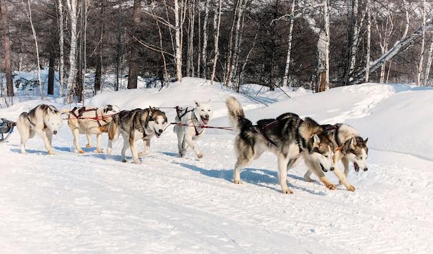 La slitta trainata da cani in esecuzione su una neve invernale