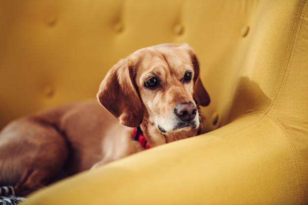 Cane che dorme sul divano