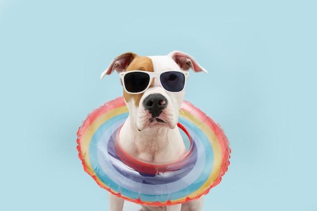 Estate del cane. american staffordshire all'interno di un anello di piscina gonfiabile arcobaleno. isolato su superficie blu