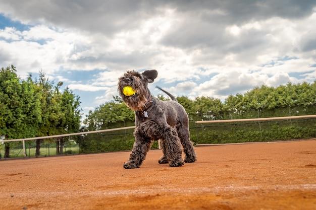 Cane su un campo da tennis con le palle.