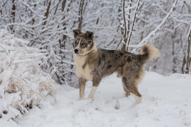 Cane con gli occhi azzurri gioca nella neve in inverno, bellissimo ritratto di un animale domestico in una soleggiata giornata invernale