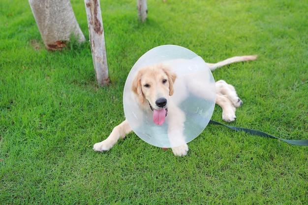 Cane con un collare protettivo in plastica per cappuccio sdraiato sull'erba in giardino