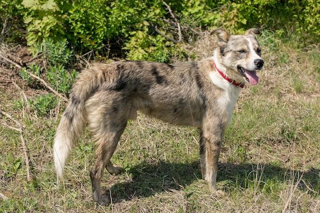 Cane con gli occhi bianchi, lupo husky sull'erba