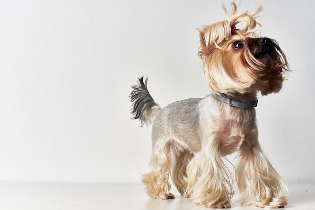 Cane yorkshire terrier in posa studio. foto di alta qualità