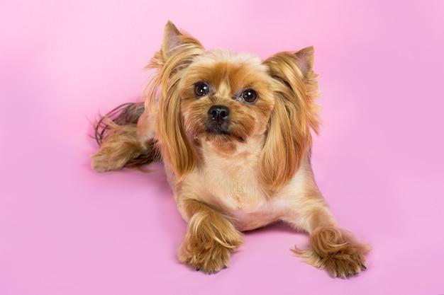 Il cane yorkshire terrier con un taglio di capelli alla moda si siede sul rosa