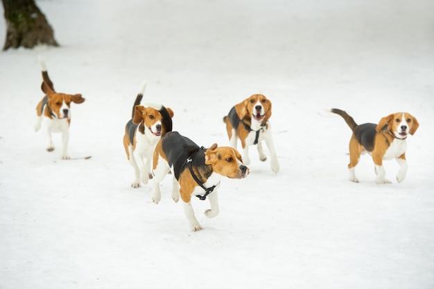I cani della razza beagle giocano nella neve in inverno all'aperto.