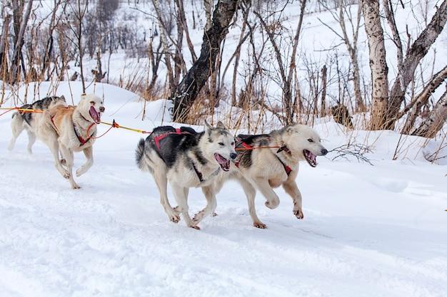 I cani in imbracatura che tirano una slitta gare in inverno