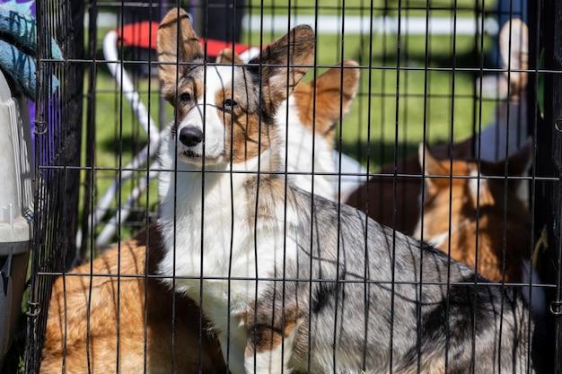 I cani si siedono in una gabbia in natura in estate. razza corgi. mostra di cani. foto di alta qualità