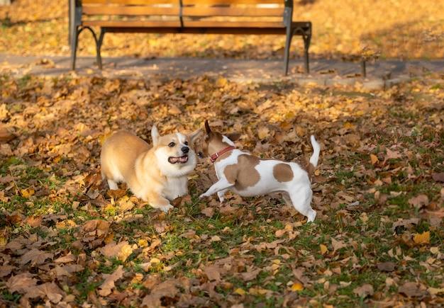 I cani welsh corgi e jack russell giocano e giocano nel parco autunnale sulle foglie gialle