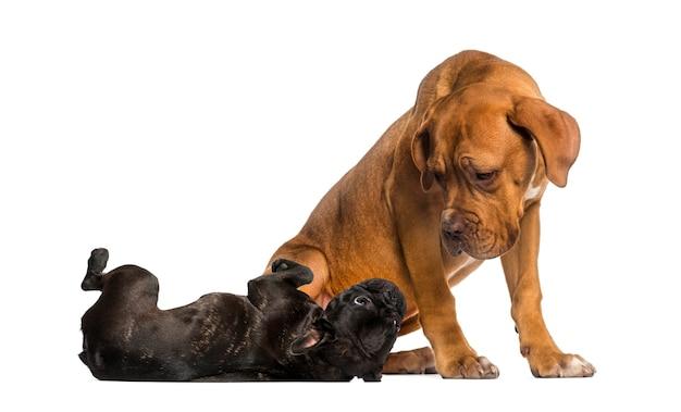 Dogue de bordeaux guardando un bulldog francese sdraiato
