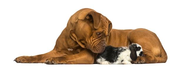 Dogue de bordeaux e coniglio lop che si trovano insieme isolato su bianco