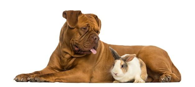 Dogue de bordeaux ansimante e coniglio sdraiato insieme isolato su bianco
